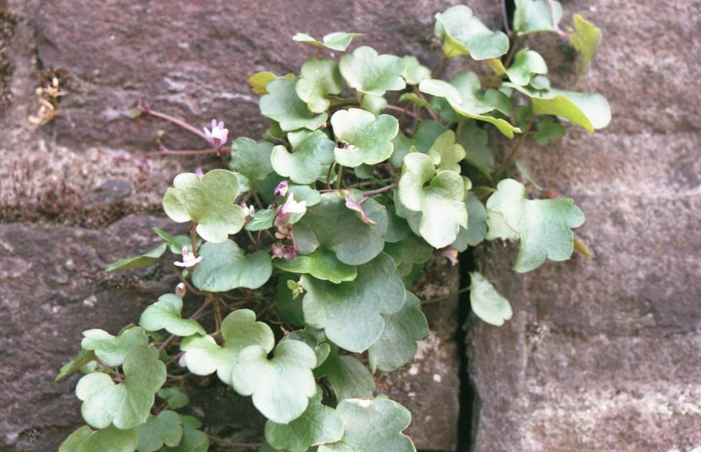 Plant at Wall